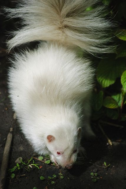 Give this guy dark eyes and he looks just like my ferret during the winter. Super cute.