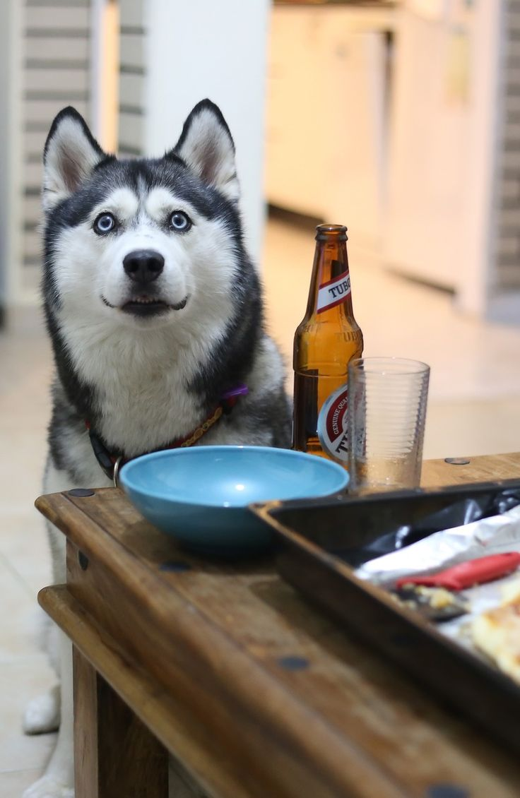 44 best husky with blue eyes images on pinterest big dogs husky