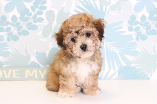 Poodle (Toy)-Yorkshire Terrier Mix puppy for sale in NAPLES, FL. ADN-67182 on PuppyFinder.com Gender: Female. Age: 9 Weeks Old