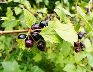 les 25 meilleures id es de la cat gorie arbuste fruitier sur pinterest plantation arbre. Black Bedroom Furniture Sets. Home Design Ideas