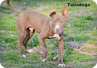 Glastonbury, CT - American Staffordshire Terrier Mix. Meet Talladega, a puppy for adoption. http://www.adoptapet.com/pet/17835406-glastonbury-connecticut-american-staffordshire-terrier-mix