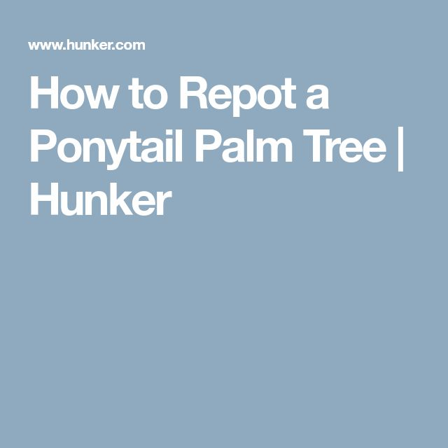 How to Repot a Ponytail Palm Tree   Hunker