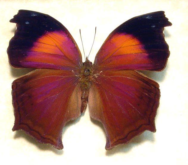 African Butterfly : ... african butterflies moths butterflies ... Fluttering By Pinterest