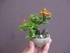 Resultado de imagen para amelbo bonsai japon