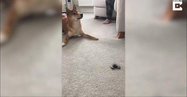 """""""Fidget Spinner"""": Verrückt! Hund dreht völlig durch - wegen diesem Spielzeug  Besonders dann, wenn es eigentlich gar nicht für Hunde gedacht ist. Dieser 18 Monate alte Shiba Inu ist wahnsinnig begeistert von seinem neuen Spielgefährten. Der sogenannte """"Fidget Spinner"""", wurde ursprünglich für Menschen mit Hyperaktivitätsstörung..."""