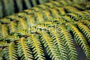 stock-photo-40274218-punga-fern-frond