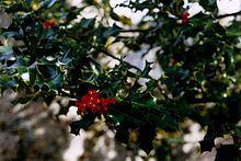Ilex aquifolium - European holly