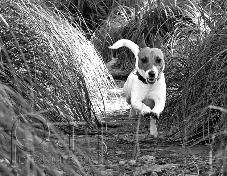 """Our Jack Russell Terrier """"Sol"""""""