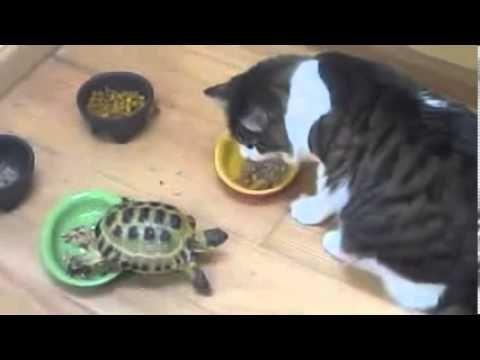 اسرع سلحفاة فى العالم تهاجم القطط   هاتموت من كتر الضحك