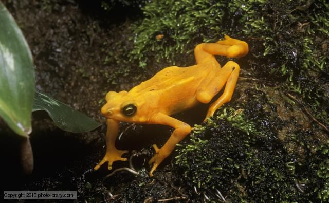 Panamanian golden frogs (Atelopus zeteki) are critically endangered amphibians almost extinct in the wild. They are unique to the mountainous rainforests of Panama, where populations have been severely threatened by habitat loss, over-collection and, most devastatingly, by fungal disease. The use of semaphore for communication is most unusual in amphibians, yet these true toads 'wave' at prospective mates and rivals, possibly to overcome the noise made by fast-flowing rivers.