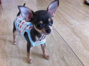 baby #chihuahua .. Simply adorable!!