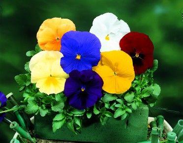 pansy delta pure color mix winter annuals pinterest