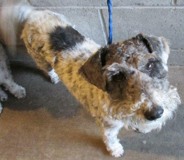 Fritz, adorable and unusual spotted wire fox terrier/schnauzer mix, needs a home!  http://www.petfinder.com/petdetail/28525625/