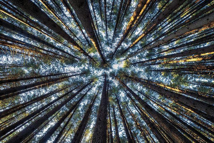 Tall Trees, Sugar Pine Walk, Laurel Hill, New South Wales, Australia