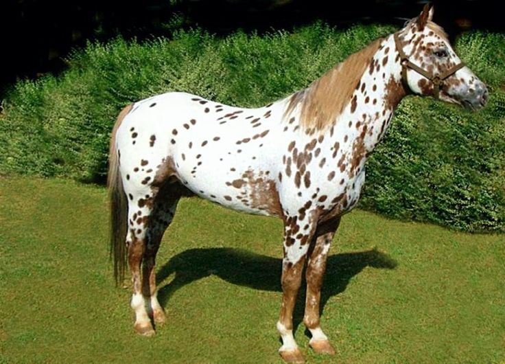 Now that's a loud Appaloosa! Full out leopard pattern. Very cool.