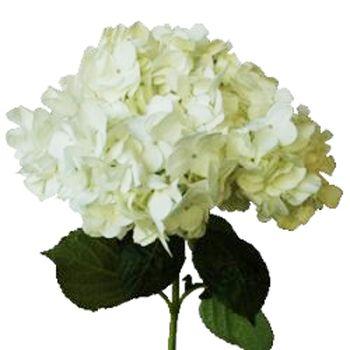 Hydrangée blanc...  White hydrangea...
