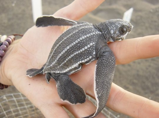 Leatherback on the hand at ARCAS Sea Turtle Conservation in El Hawaii, Guatemala: http://www.flightcentre.ca/blog/voluntouring/govoluntouring-arcas-sea-turtle-conservation-project-el-hawaii-guatemala/10847#