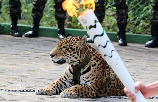 Jaguar breekt los tijdens ceremonie met olympische vlam en wordt afgemaakt - HLN.be