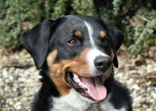 Perro Boyero De Appenzell - Appenzeller Mountain Dog - Bouvier d'Appenzell - Appenzeller Sennehund. Origen: Suiza.  Perro para guiar, vigilar y proteger ganado, ranchos y residencias. Actualmente se utiliza con mucha versatilidad como perro de trabajo o familiar.