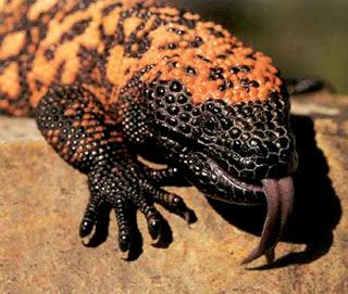 The Gila monster is a species of venomous lizard native to the southwestern United States and northwestern Mexican state of Sonora. A heavy, slow-moving lizard, up to 60 cm (2.0 ft) long, the Gila monster is the only venomous lizard native to the United States and one of only two known species of venomous lizards in North America, the other being its close relative, the Mexican beaded lizard.Though the Gila monster is venomous, its sluggish nature means it represents little threat to humans.