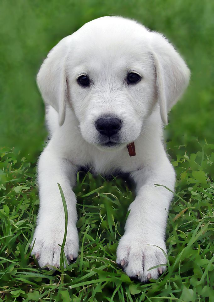 I will have him in my home one day :) Akbash