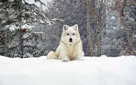 farkas havazás tél