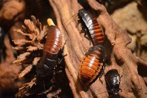 Matar cucarachas con ácido bórico - Trucos de hogar caseros