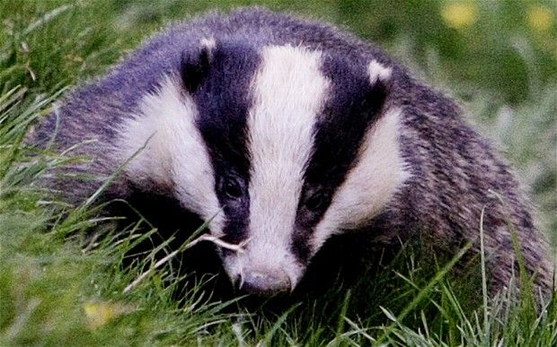 Badger cull could be scuppered by health and safety - Telegraph