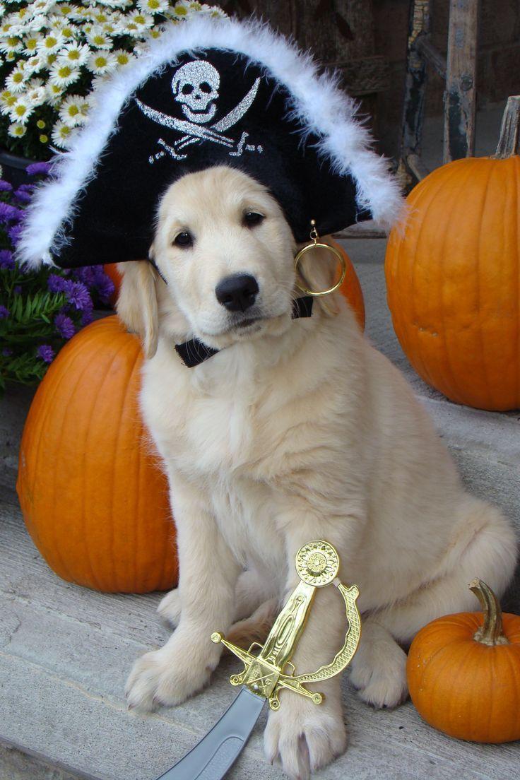 ready for halloween #goldenretriever #goldens #doglovers