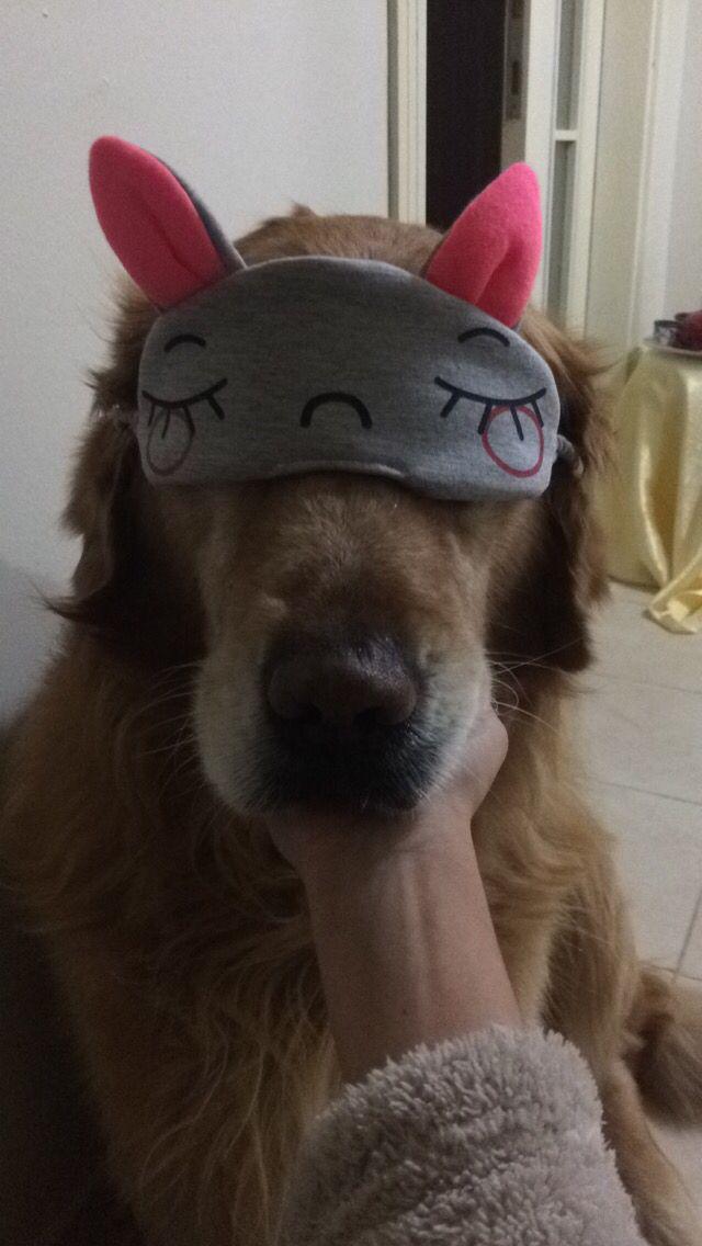 #goldenretriever #sleep #dogs