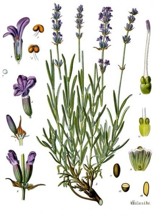 Lavender (Lavandula angustifolia) illustration in Public Domain