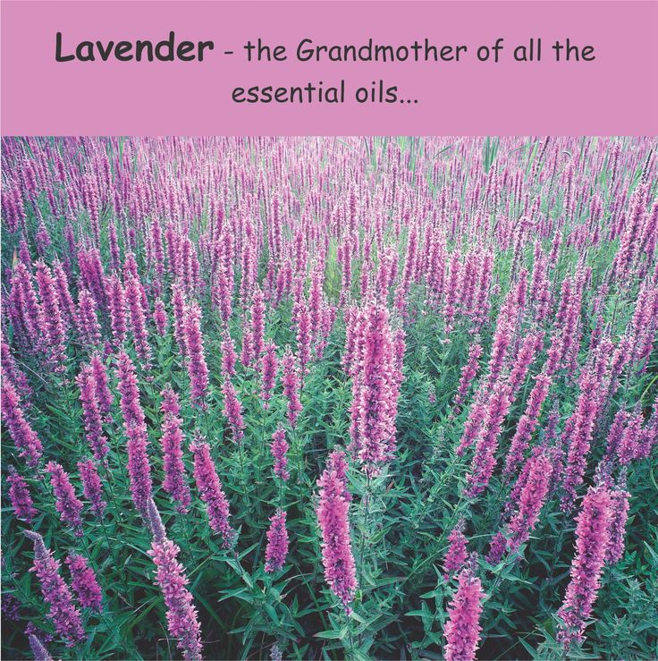 Why is Lavender the Grandmother of all the essential oils? It is safe to use directly on the skin. It is safe to use for babies. It blends well with all other oils. It has more general healing properties than most other oils. http://www.essentia.co.nz/webapps/p/109081/394325/natural_burn_stress_treatment_relaxant.html