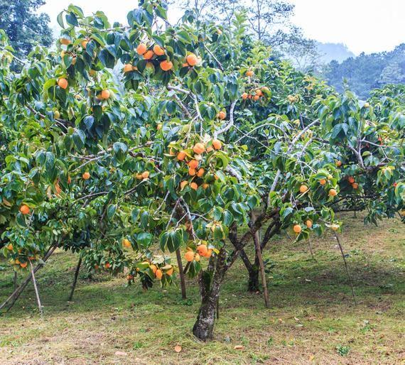 American Persimmon Tree Diospyros Virginiana Fruit Of The Etsy Plants Shade Trees Fruit Garden