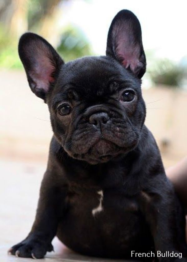 French Bulldog Playful And Smart In 2020 Cute Dogs Puppies