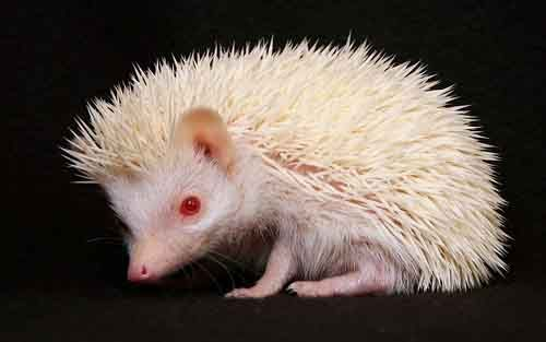 albino hedgehog.