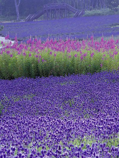 lavender - French Lavender