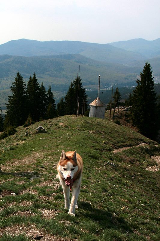 A cute dog walk with us in Ciucas Mountains, Romania