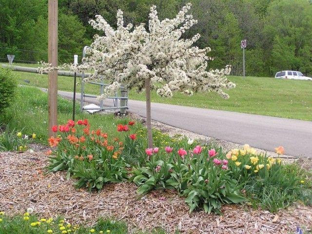 16 best images about z yard on pinterest hydrangeas for Dwarf flowering trees