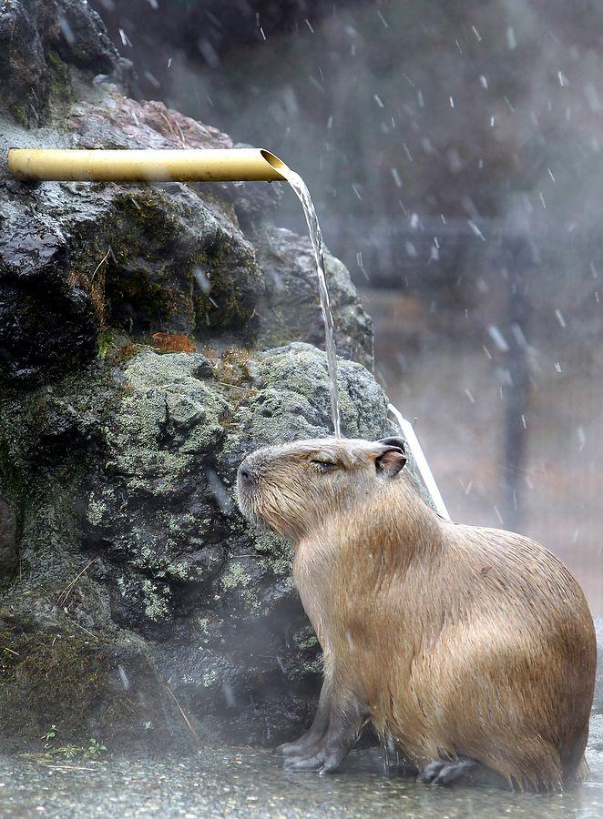 Capybara is taking a cascading bath.