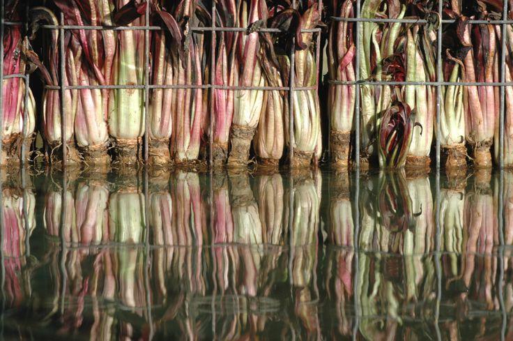 A partire dal mese di novembre il #radicchio rosso di #treviso lascia il campo per la forzatura: il processo di imbianchimento avviene immergendo le radici in #acqua pura di falda a 13 grandi costanti per 20 giorni.