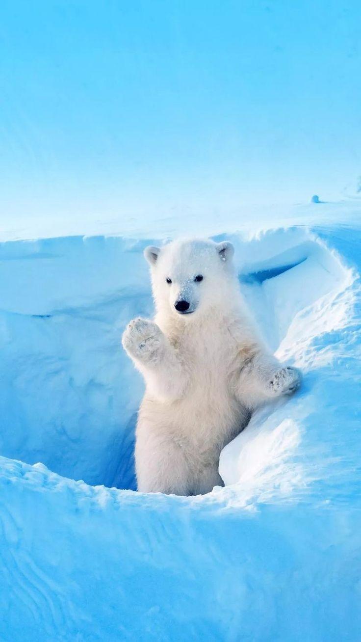 картинки для телефона белый медведь может быть
