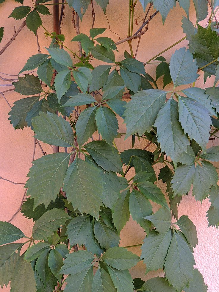 Hojas de parthenocissus o parra virgen http www for Hojas ornamentales