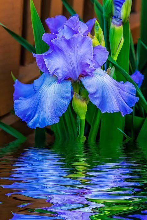 Blue Iris and its reflection!