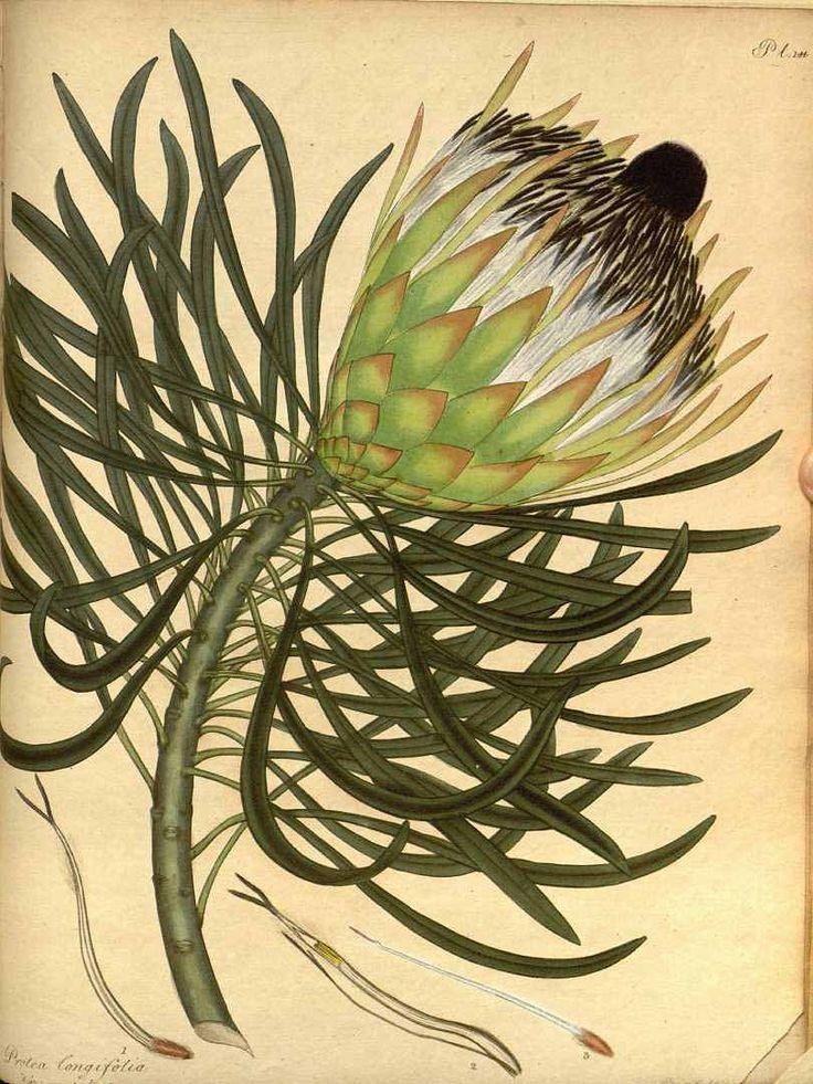 Henry Andrews, Protea longifolia, The Botonist's Repository, 1799-1801