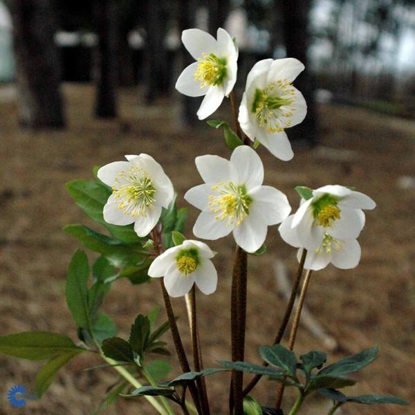 Julerose (Helleborus niger) hører til i Soleiefamilien / Ranunculaceae