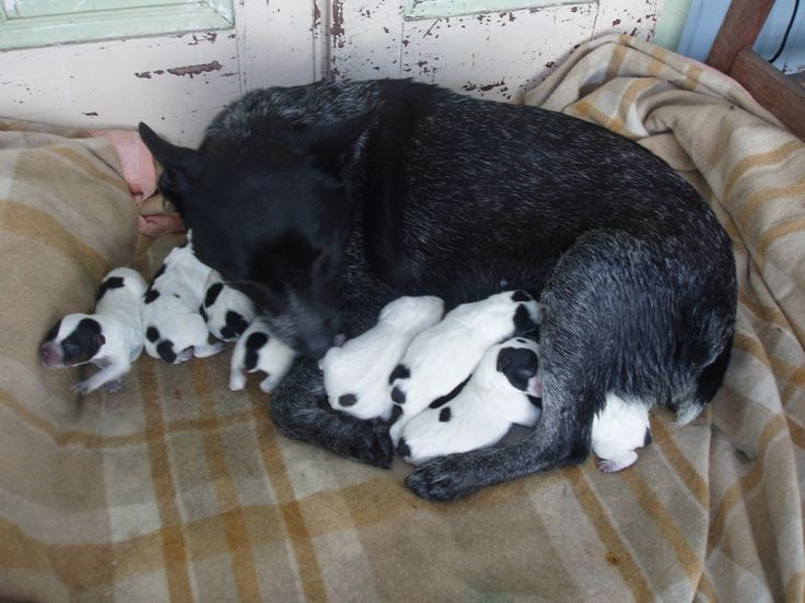Stumpy Tail Australian Cattle Dog | Puppies & Dogs For Sale - DMC Australian Stumpy Tail Cattle Dogs