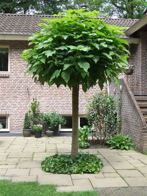boom voortuin I think this might be a variation of the tree we have in our front and back yard that we haven't been able to figure out what kind it is!?