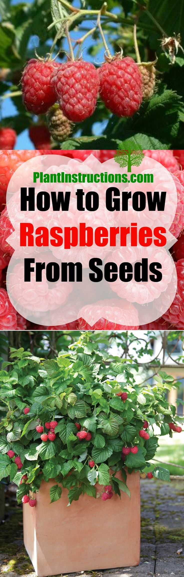 Learn how to grow raspberries from seeds the easy way!