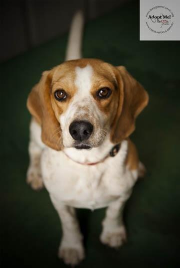 Beagle Rescue Victoria Adoptee... soooo sweet!