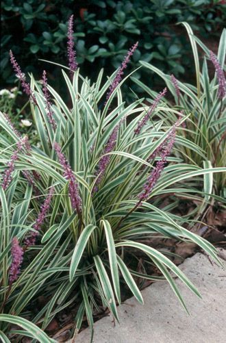 Variegated Liriope - The most popular ground cover for landscape use in the South. The three most popular species grown in the Southeast are L. muscari (clumping), L. gigantea (giant) and L. spicata (spreading). - Getting the Most From Your Liriope Ground Cover eNewsletter